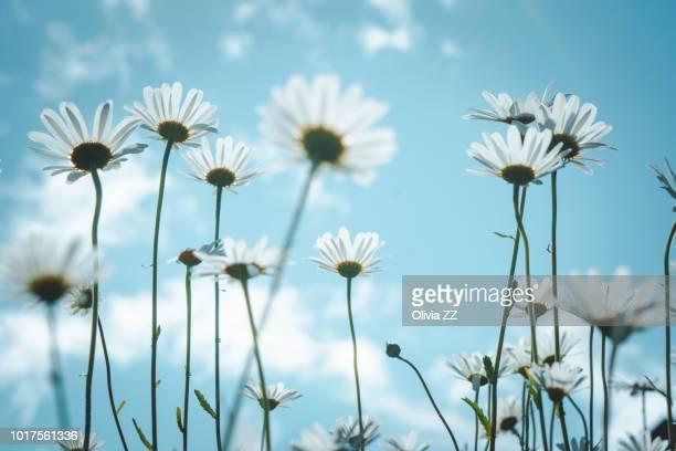 daisy in sunlight, nikko, japan. - 成長 ストックフォトと画像