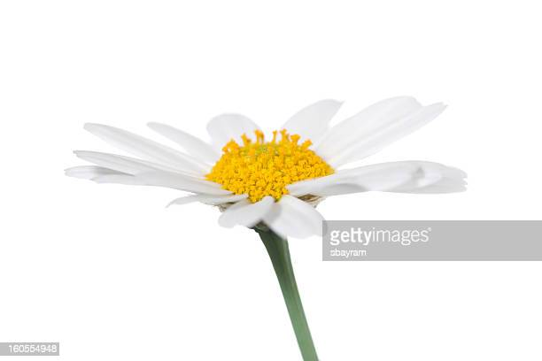 Daisy isolated
