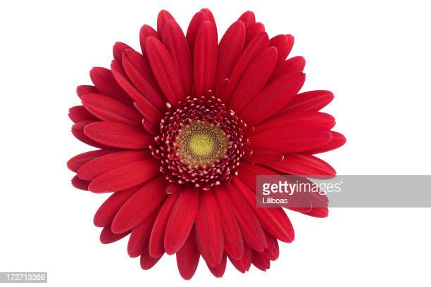 daisy isolated (xl) - gerbera daisy stock pictures, royalty-free photos & images