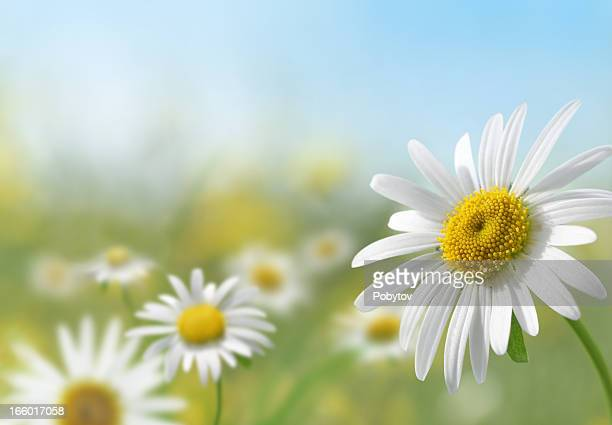 daisy meadow - single flower stock pictures, royalty-free photos & images