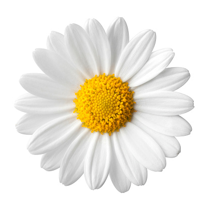 Daisy on a white background 890573264