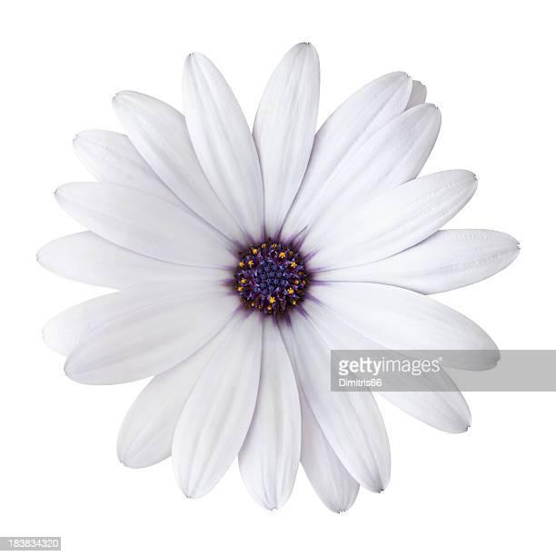 Marguerite sur fond blanc. Détaillée Tracé de détourage inclus