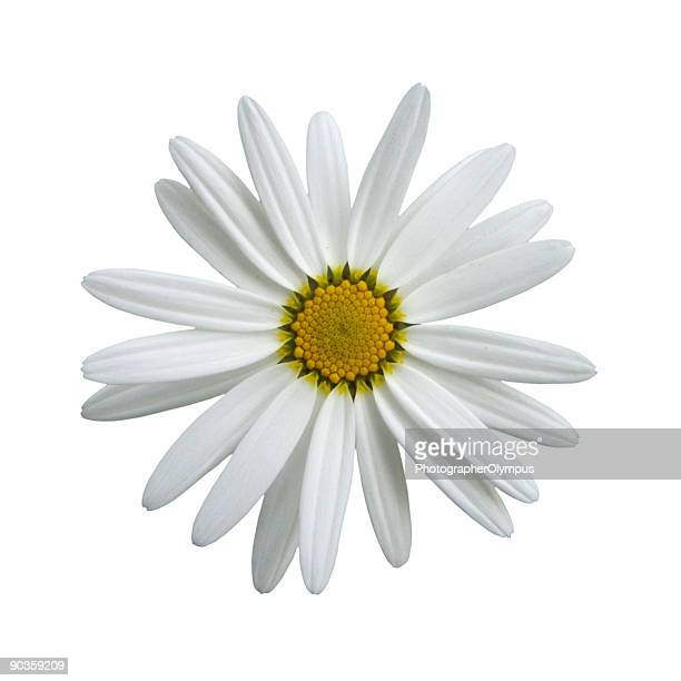 daisy on white - marguerite daisy stock photos and pictures