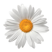 Daisy On White With Clipping Path