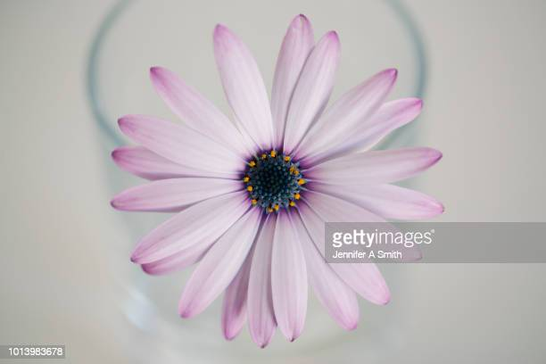 daisy - in the center stock pictures, royalty-free photos & images