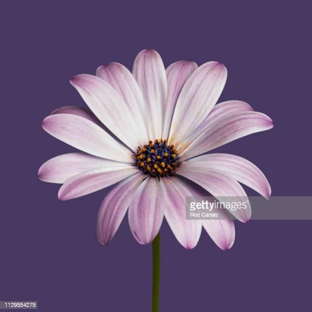 daisy - flores imagens e fotografias de stock