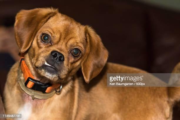 daisy - パグル犬 ストックフォトと画像