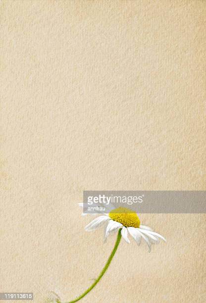daisy - annfrau stock photos and pictures