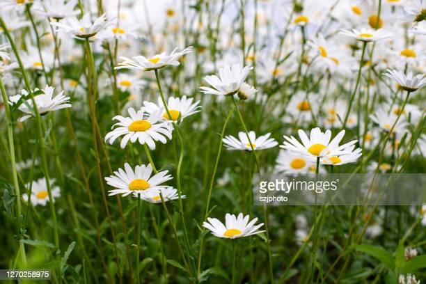 daisy - デイジー ストックフォトと画像