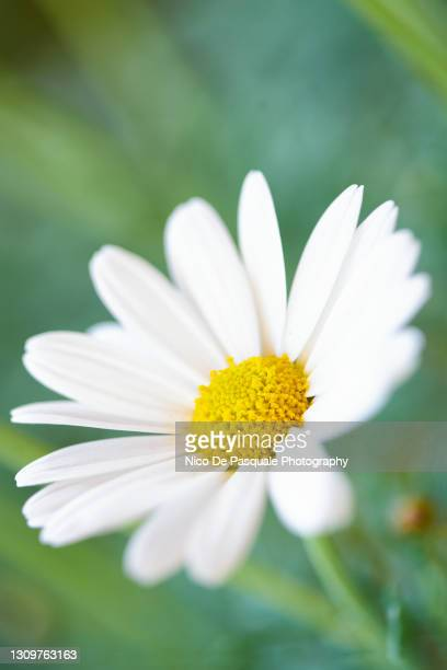 daisy - rome italy stock pictures, royalty-free photos & images