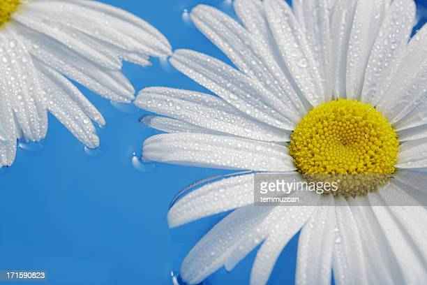 daisy - chamomile tea stock photos and pictures