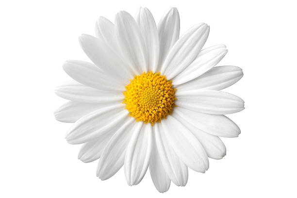 Free white background flower images pictures and royalty free daisy mightylinksfo