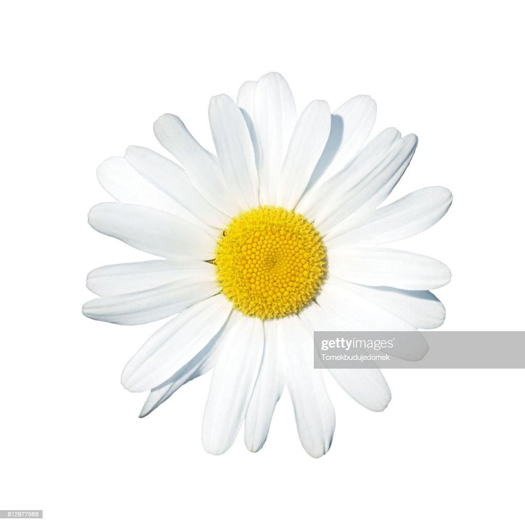Daisy : Stock-Foto