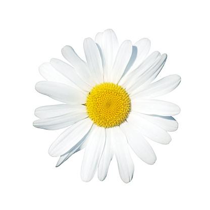 Daisy - gettyimageskorea
