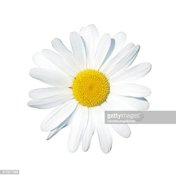 daisy - flower stock pictures, royalty-free photos & images