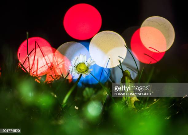 A daisy stands on a grass strip in the backlight of a much frequented street in Frankfurt am Main western Germany on January 5 2018 / AFP PHOTO / dpa...