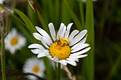 daisy with crab spider attacking its