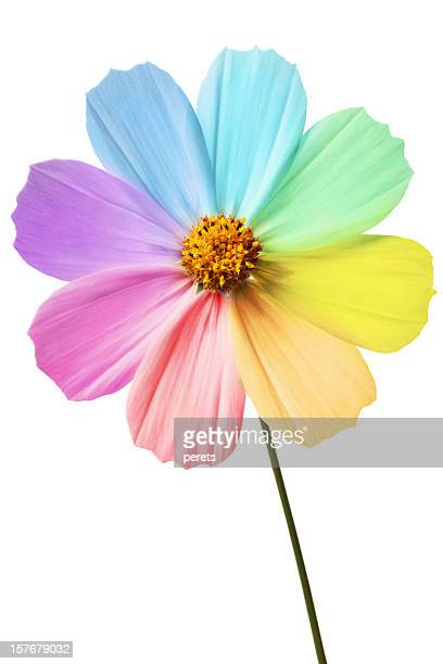 Daisy with rainbow petals on a white background