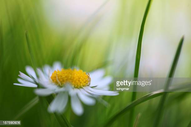 daisy with soft focus