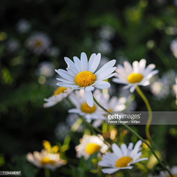 daisys - chamomile tea stock pictures, royalty-free photos & images