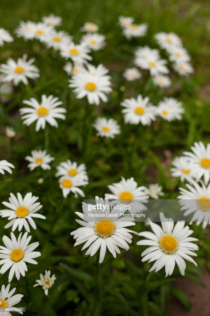 Daisys : Stock Photo