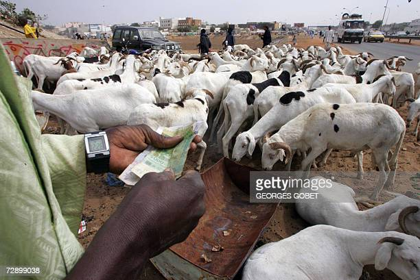 TO GO WITH AFP STORY A Senegalese man counts his money before buying a sheep at a cattle market near the Sedar Senghor stadium 28 December 2006 in...