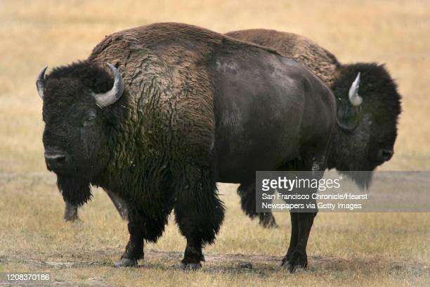 DAKOTA1604_fljpg Buffalo roam freely at Buffalo Gap National Grasslands in the Bad Lands of South Dakota 9/5/05 Custer South Dakota Frederic Larson...