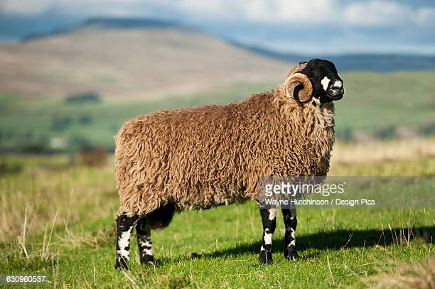 Dalesbred ram, traditional hill breed, on pasture