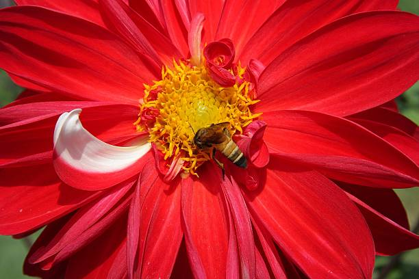 Dalia Is A Flowering Plant From Mexico Pictures Getty Images