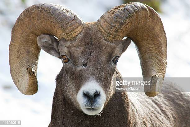 dall ram - ram animal stock photos and pictures