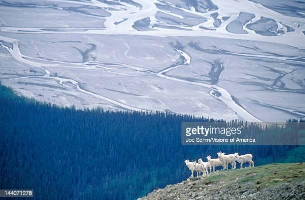 Dall sheep in St Elias National Park Wrangell Alaska