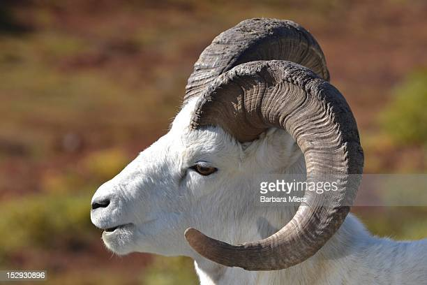 dall sheep - barbara dall stock-fotos und bilder