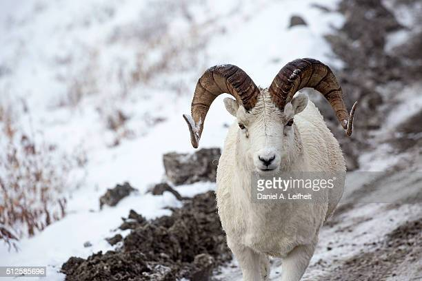dall sheep - ram animal stock photos and pictures