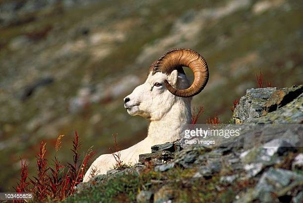 Dall Sheep ram, Denali National Park, Alaska, USA