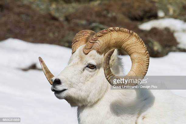 dall sheep (ovis dalli) ram in south-central alaska, chugach mountains near the seward highway in springtime - ram animal stock photos and pictures