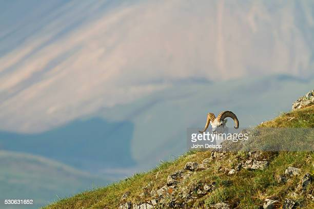 A Dall Sheep (Ovis Dalli) Ram Looks Over A Ridge With A Broad Valley And Mountains In The Background In Denali National Park And Preserve; Alaska, United States Of America
