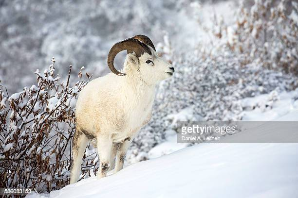 dall sheep ram - ram animal stock photos and pictures