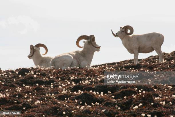dall sheep rams, ovis dalli dalli, eriophorum, cottongrass, sheep mountain, st. elias mountains, kluane national park, yukon territory, canada - vista lateral stock pictures, royalty-free photos & images