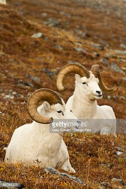Dalls sheep (ovis dalli) rams resting on meadow in autumn, denali national park