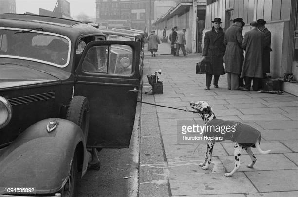 Dalmatian and its owner arriving at the Grand Hall, Olympia, for Crufts dog show, London, 8th-9th February 1952. In the background is a group of...