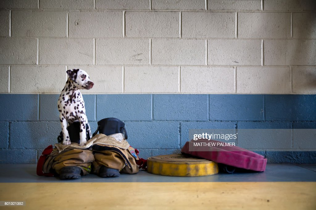 Dalmatian at Firehouse : Stock Photo