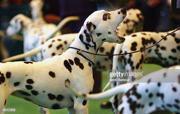 Dalmatian barks as it is displayed during Crufts Dog Show March 4 2004 in Birmingham England Over 24000 dogs and 130000 human visitors are expected...