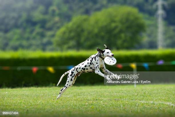 dalmatian carrying toy in mouth running on field - dalmatian dog stock photos and pictures