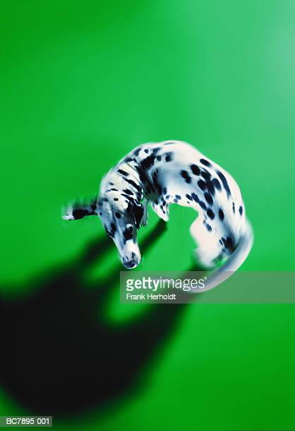 Dalmatian chasing tail, overhead view (Digital Enhancement)