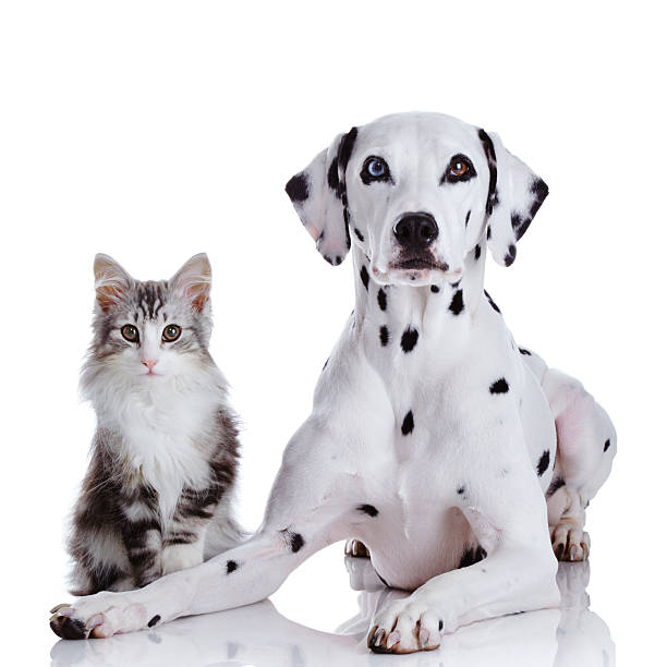 Dalmatian Dog And Norwegian Forest Cat Wall Art