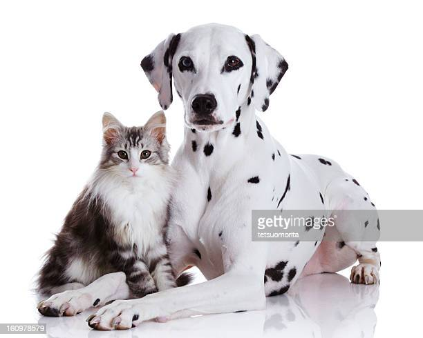 dalmatian dog and norwegian forest cat - cat and dog stock pictures, royalty-free photos & images