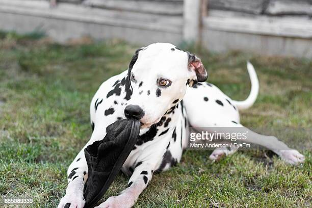 a4051fc8c Dalmatian Dog Holding Shoe In Mouth On Grassy Field