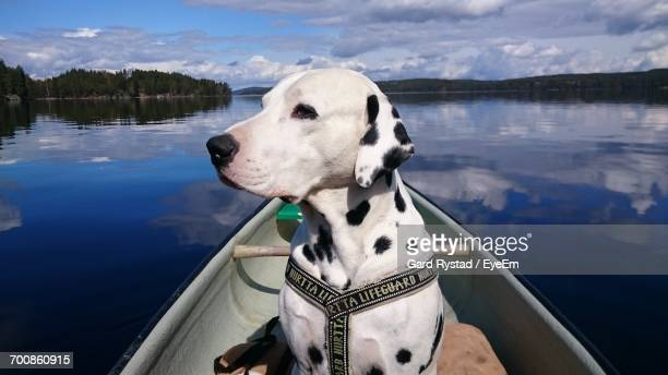 Dalmatian Dog In Boat At Lake