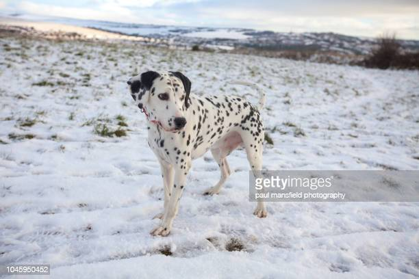 Dalmatian dog in snow