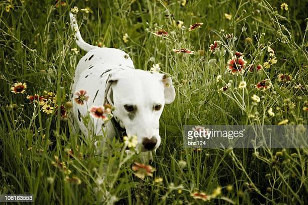 Dalmatiner Hund im hohen Gras mit Wildblumen